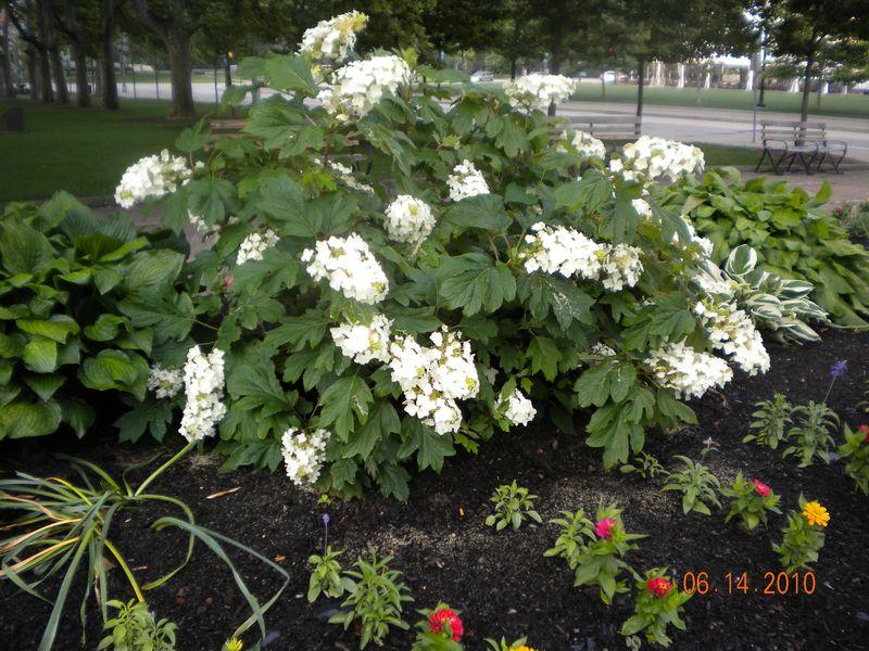 Oakleaf Hydrangeas