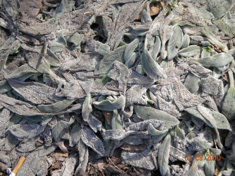 Lambs ears march