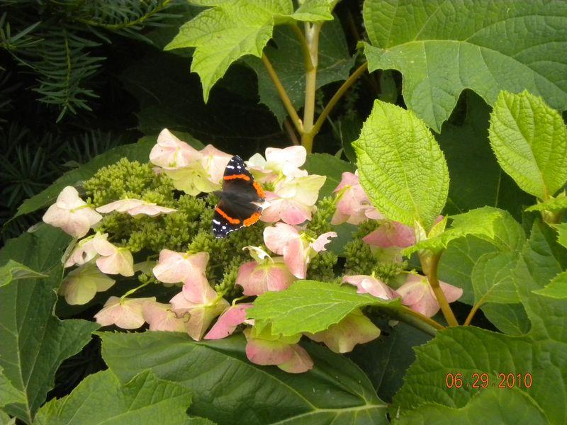 Butterfly on Oakleaf Hydrangea